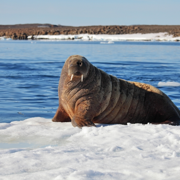 A Walrus cow is seen on ice in a file photo. (Credit: Getty Images)