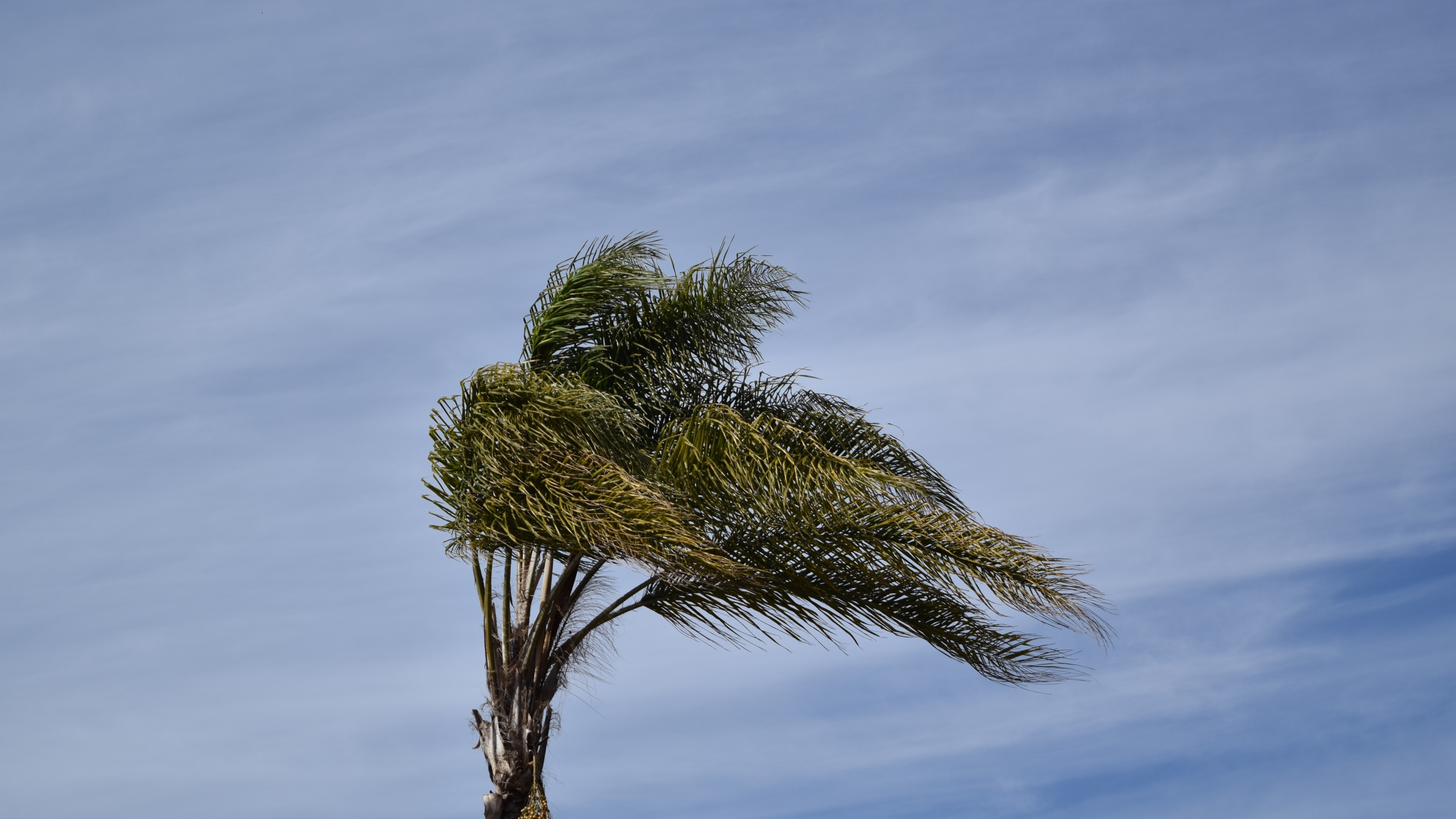 A palm tree sways as wind blows in California. (Credit: Getty Images)