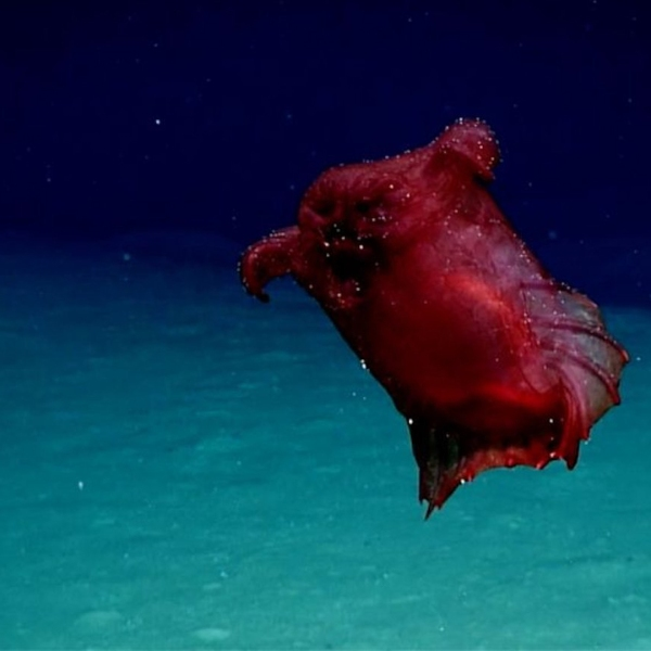 """Australian researchers have developed new technology enabling them for the first time to film a deep-sea swimming sea cucumber, also known as a """"headless chicken monster,"""" in Southern Ocean waters off East Antarctica. (Credit: Australia Deptartment of the Environment and Energy Australian Antarctic Division)"""