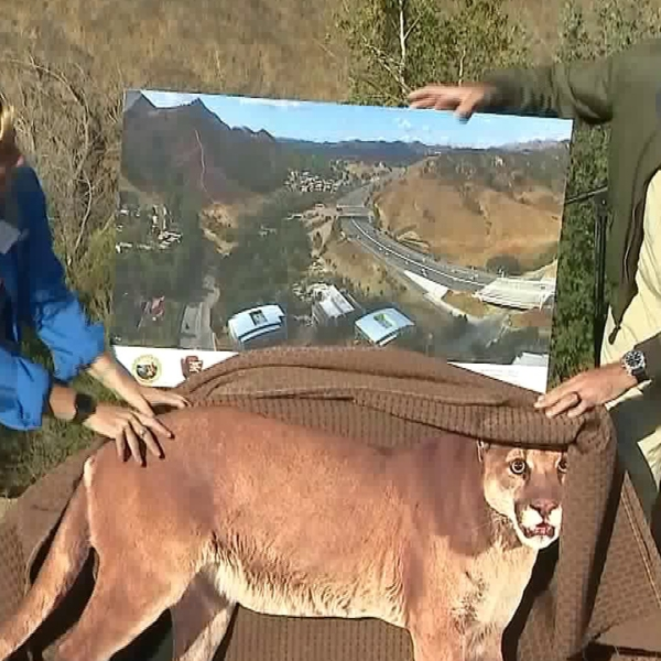 Wildlife officials unveiled a new image of the 101 Freeway wildlife overpass on Oct. 23, 2018. (Credit: KTLA)