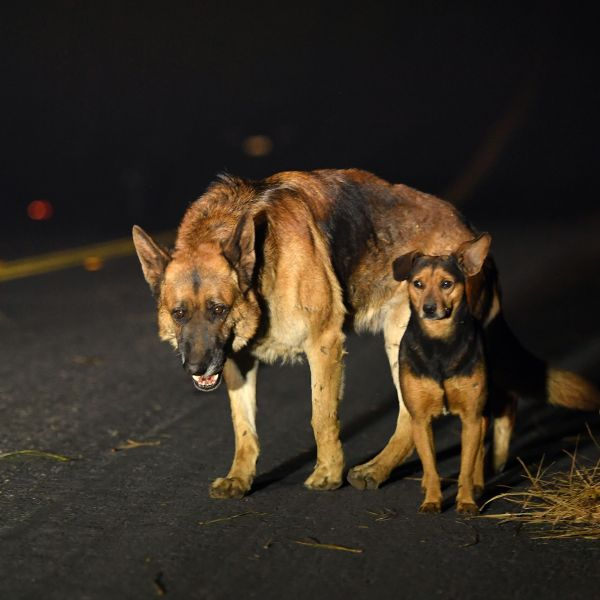Dogs roam burned out neighborhoods as the Camp fire tears through Paradise, north of Sacramento, California on November 08, 2018. (Credit: JOSH EDELSON/AFP/Getty Images)
