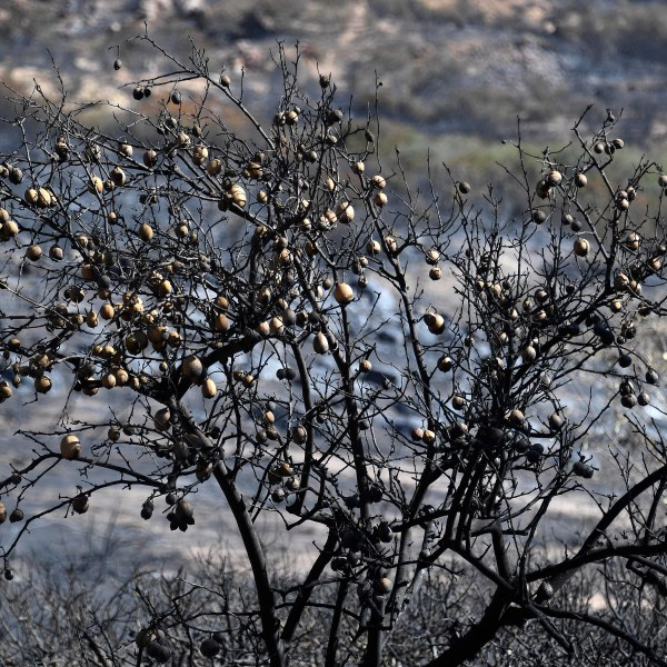 A burned lemon tree is seen in the backyard of house on Nov. 12, 2018 in Thousand Oaks. (Credit: Kevork Djansezian/Getty Images)