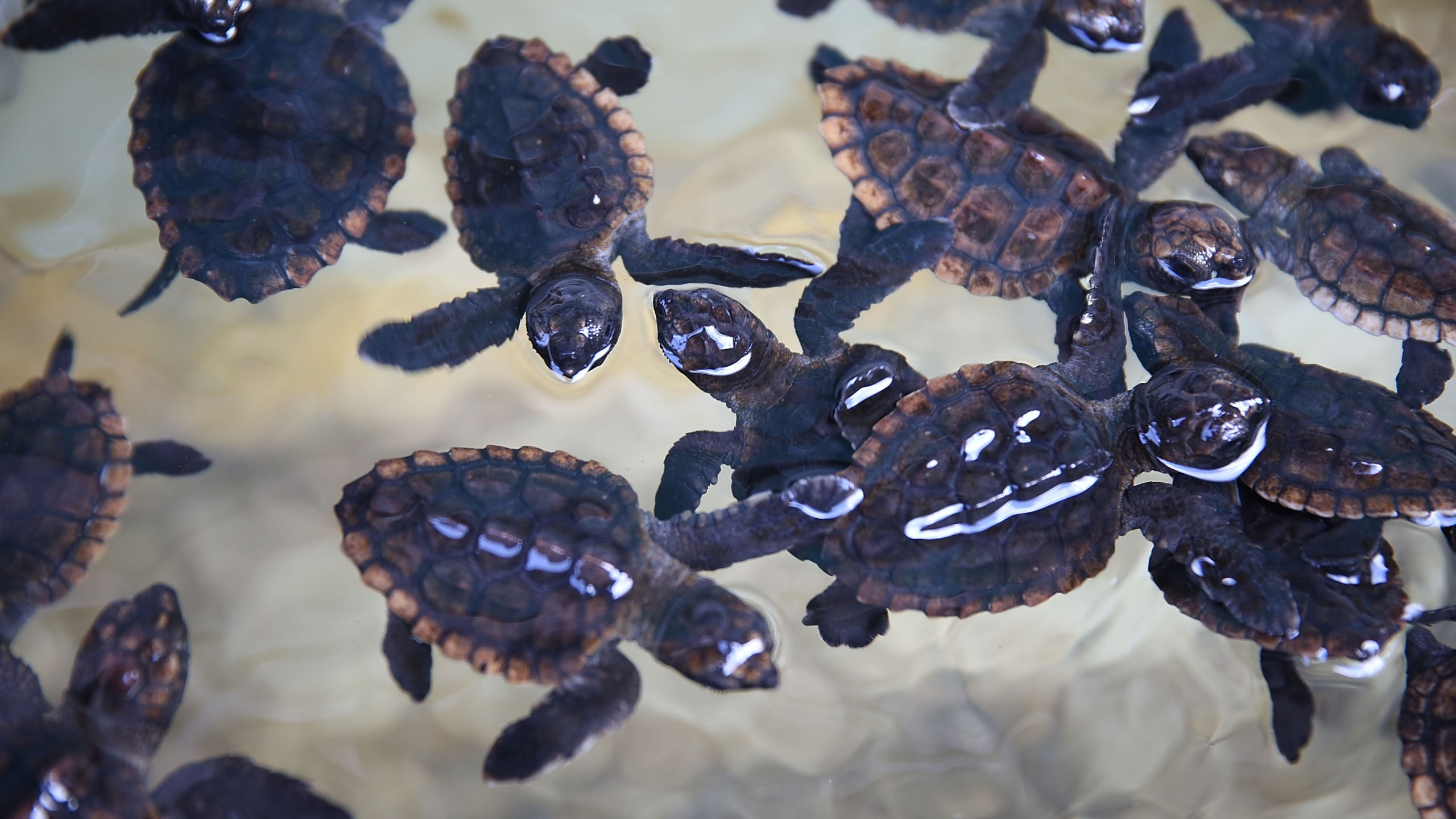Some of the more than 570 baby sea turtles, including the Loggerhead and Green turtles, are seen before they are released into the Atlantic Ocean on July 27, 2015, in Boca Raton, Florida. (Credit: Joe Raedle/Getty Images)
