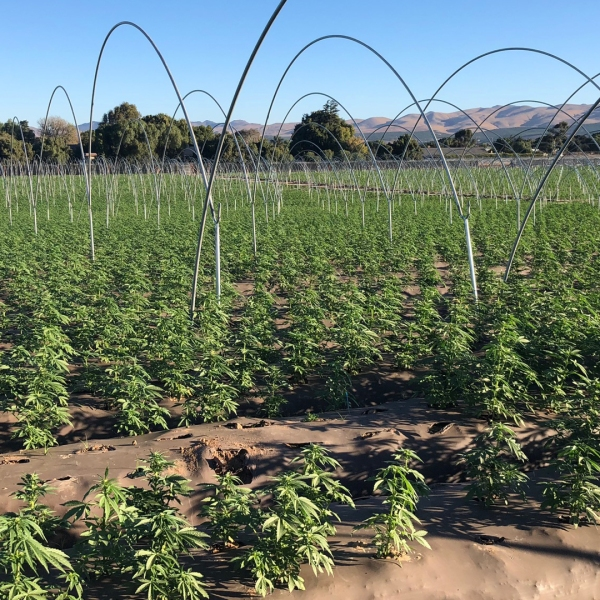 Officials spent two days uprooting about 400,000 marijuana plants from a field in Santa Maria on Oct. 29 and 30. (Credit: Santa Barbara County Sheriff's Office)