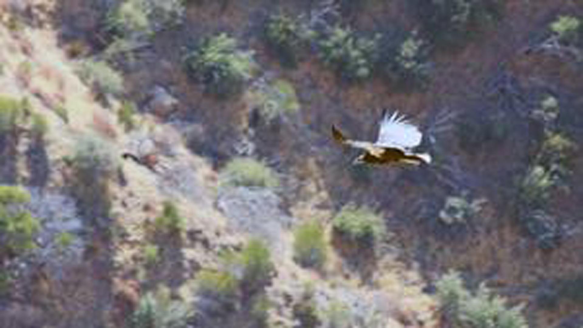 California condor 933 successfully fledges in Santa Barbara County. (Credit: Santa Barbara Zoo via U.S. Fish and Wildlife Service)