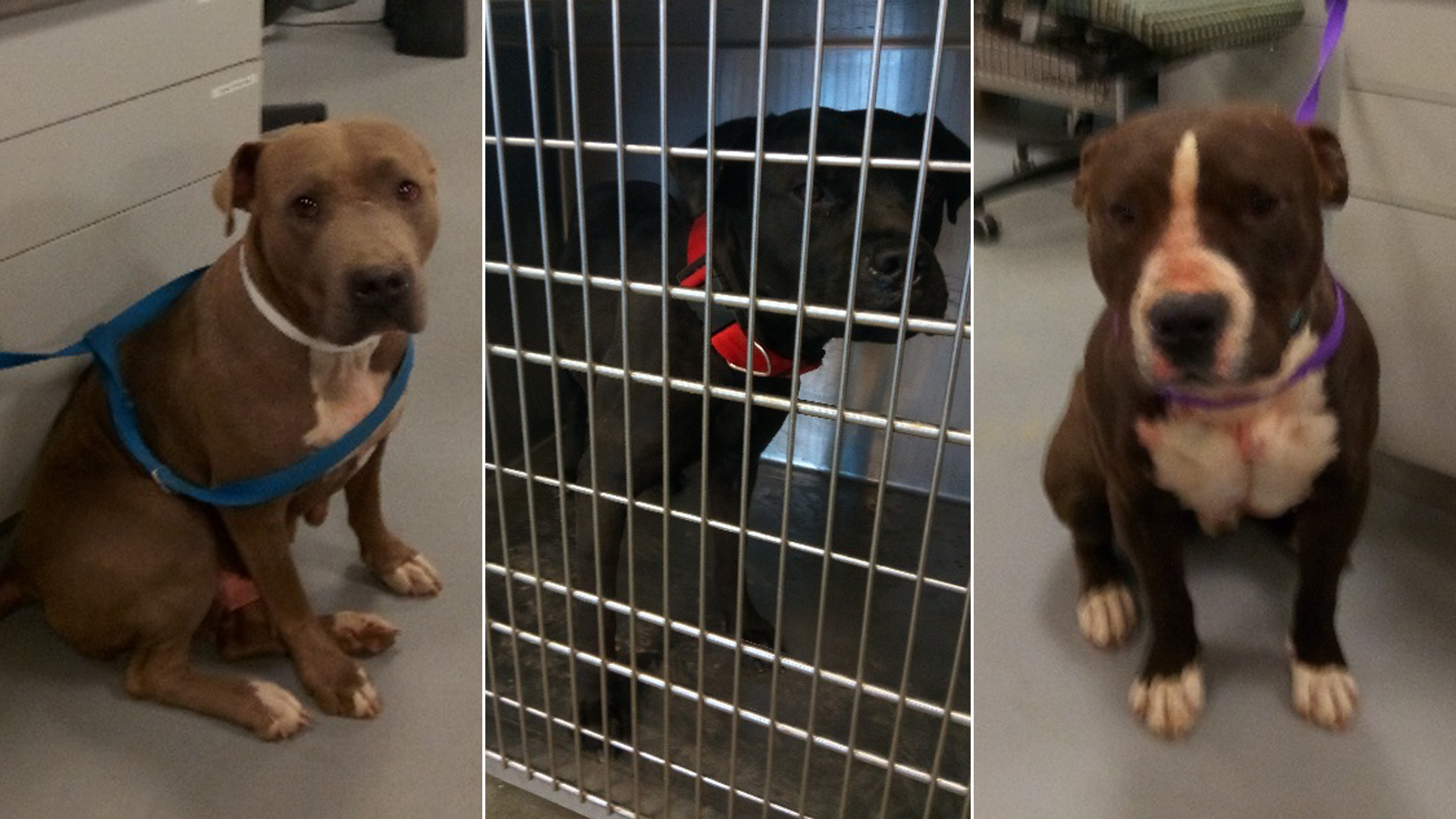 Riverside County Animal Services released these images of dogs they said attacked a woman in Anza on Dec. 15, 2018.