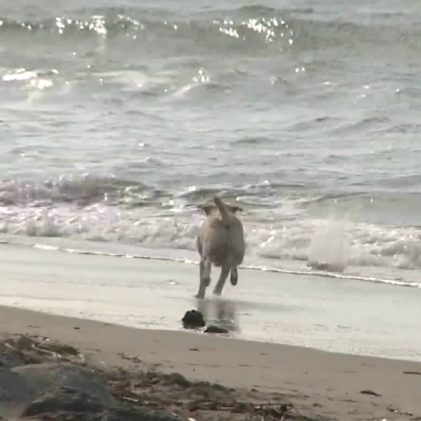 A dog is seen frolicking on a beach in Orange County on Dec. 12, 2018, amid outcry over lax enforcement of laws banning the canines there over concerns for endangered birds. (Credit: KTLA)