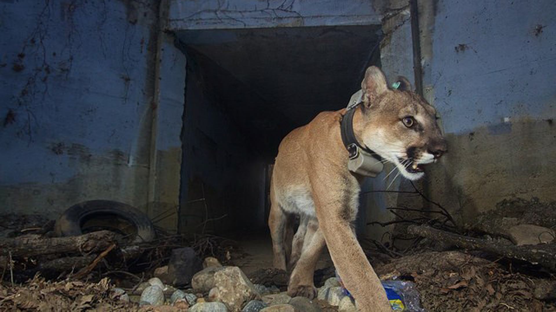 """P-64, also known as the """"Culvert Cat,"""" is seen in a photo released by the National Park Service."""