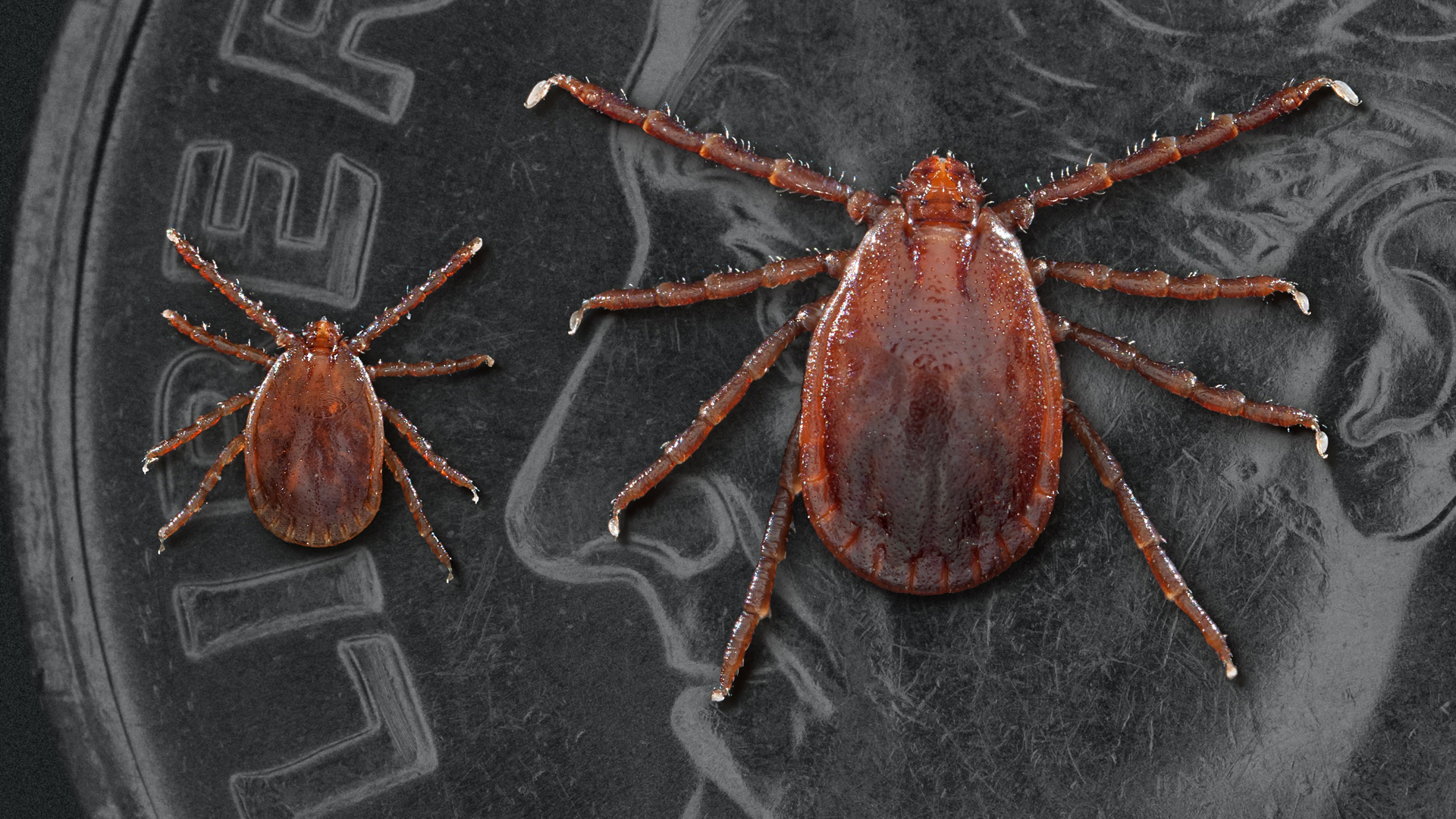 Two Asian longhorned ticks: a nymph or immature tick at left and an adult female. (Credit: Journal of Medical Entomology via CNN Wire)