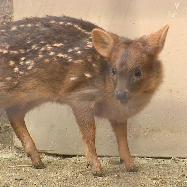 A baby pudu named Haechan after a K-pop star is seen at the L.A. Zoo on Jan. 24, 2019. (Credit: KTLA)