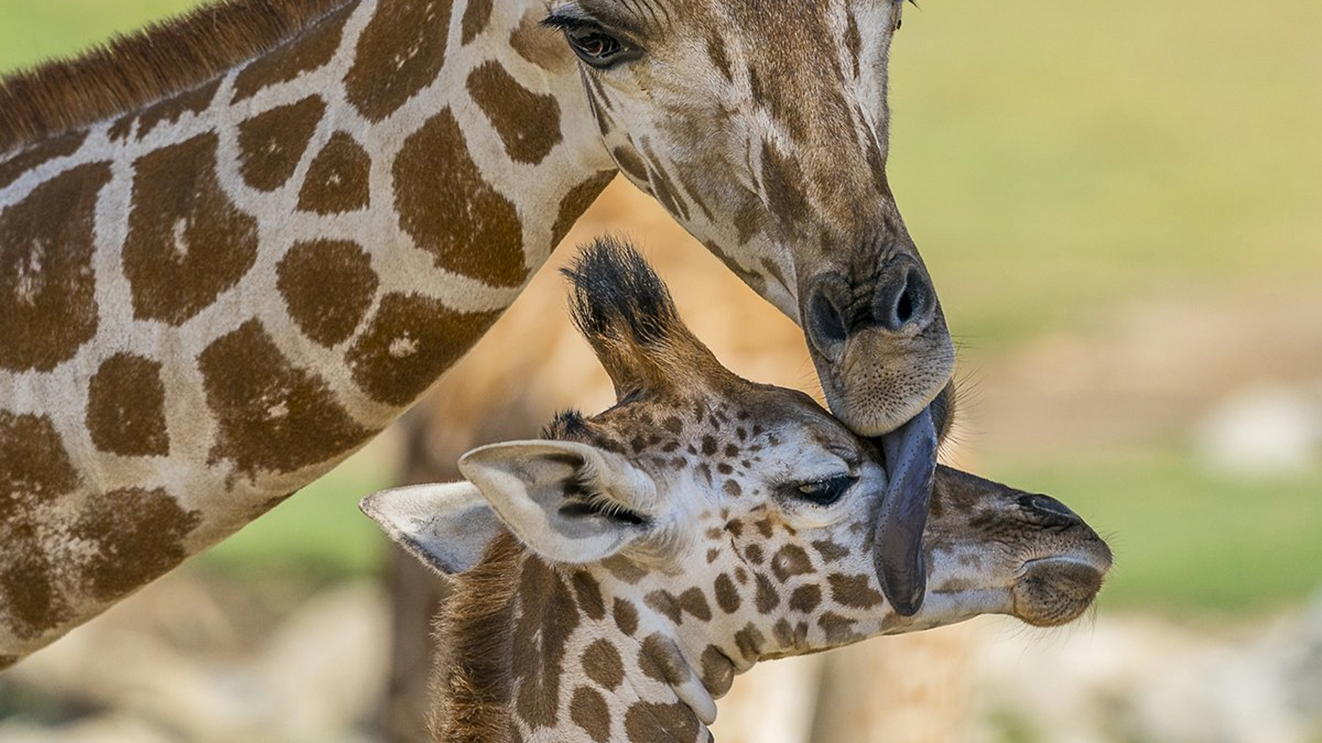 Kumi is seen in a photo posted to the San Diego Zoo Safari Park's Twitter page when he was a few weeks old.