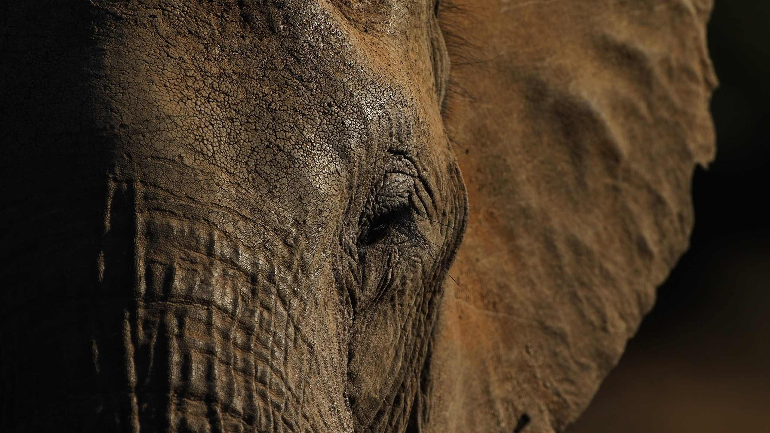 Detail of an elephant at the Mashatu game reserve on July 26, 2010 in Mapungubwe, Botswana. (Credit: Cameron Spencer/Getty Images)