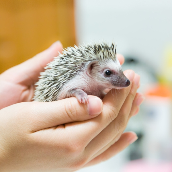 A hedgehog is seen in this file photo. (Getty Images)