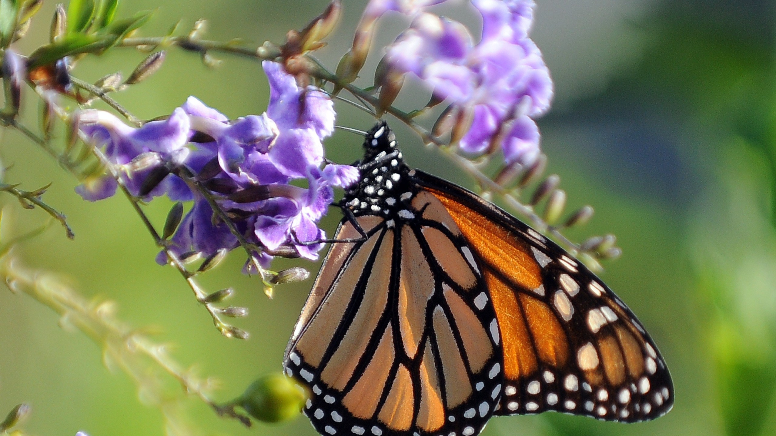 A Monarch butterfly rests on a flower in Los Angeles on Oct. 28, 2010. (Credit: Gabriel Bouys/AFP/Getty Images)