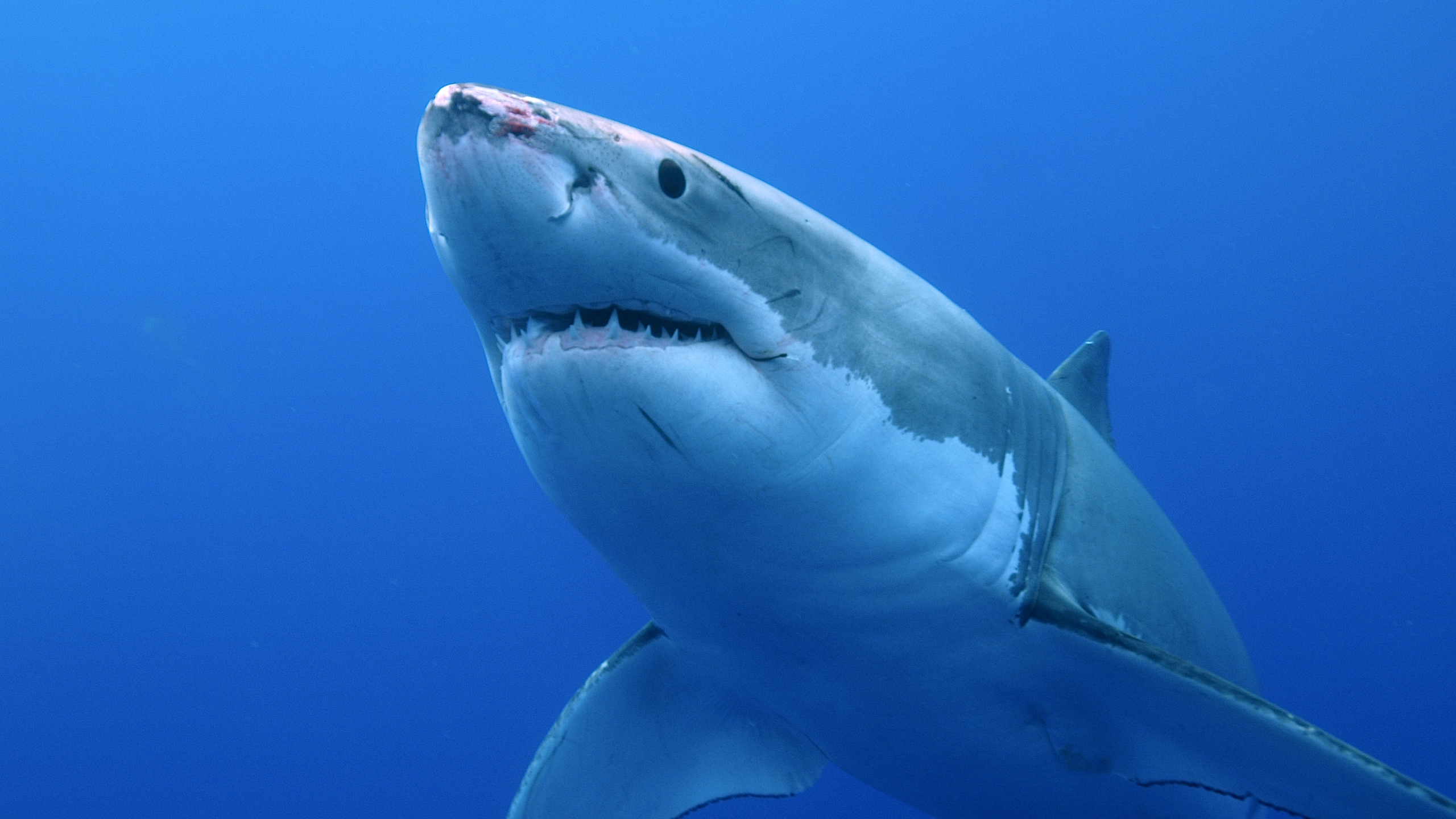 A Great White Shark is seen in this file photo. (Getty Images)