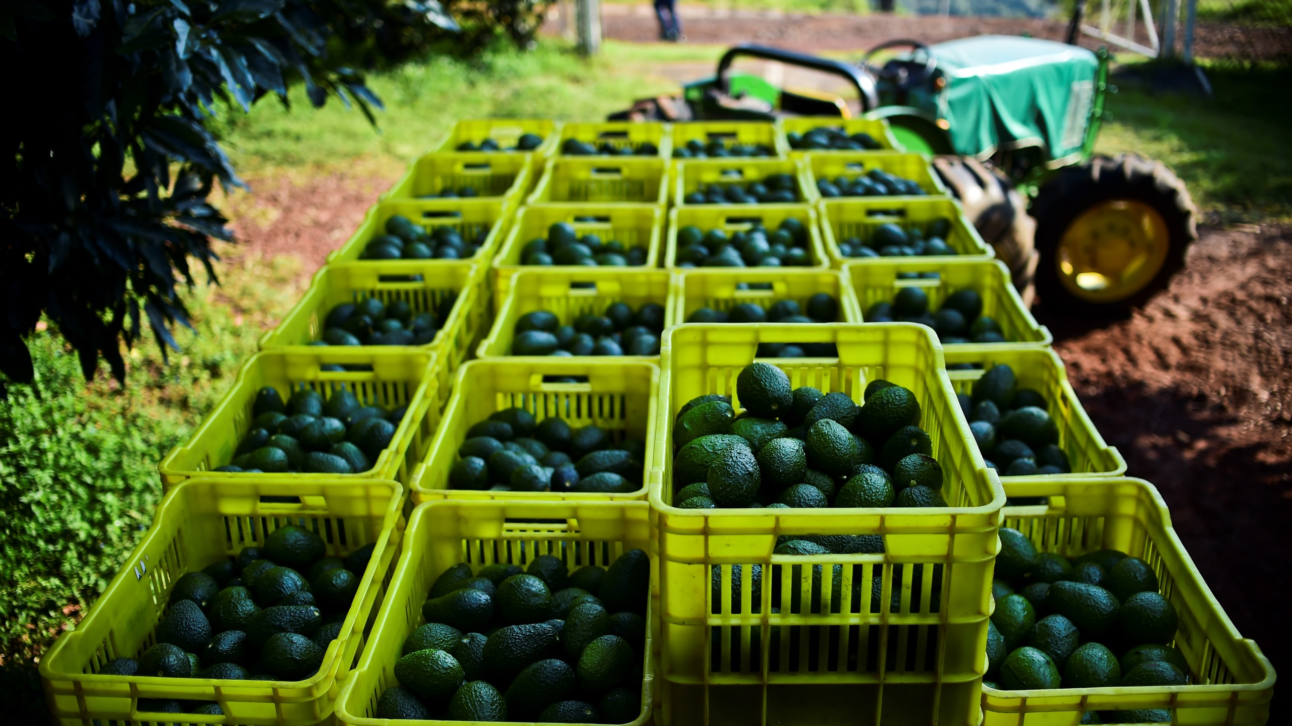 Fruit boxes with avocados are seen during harvest at an orchard in Uruapan, Michoacan state, Mexico, on Oct. 19, 2016. (Credit: Ronaldo Schemidt / AFP / Getty Images)