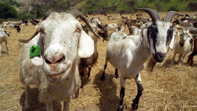 Goats are seen in this undated image. The farm animals could be used for wildfire prevention in one Northern California town, as they munch away flammable, overgrown brush. The city of Laguna Beach has previously used goats to clear its brush. (Credit: Mark Boster / Los Angeles Times)