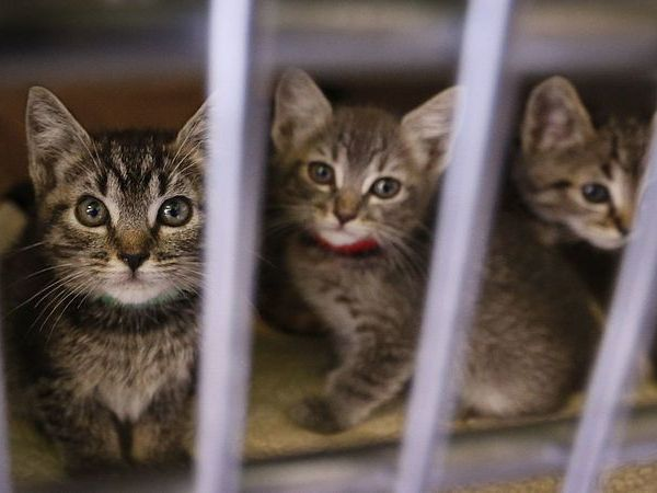 Kittens peer out of their crate at the Chesterfield Square Animal Shelter in Los Angeles in this undated photo. (Credit: Allen J. Schaben / Los Angeles Times)
