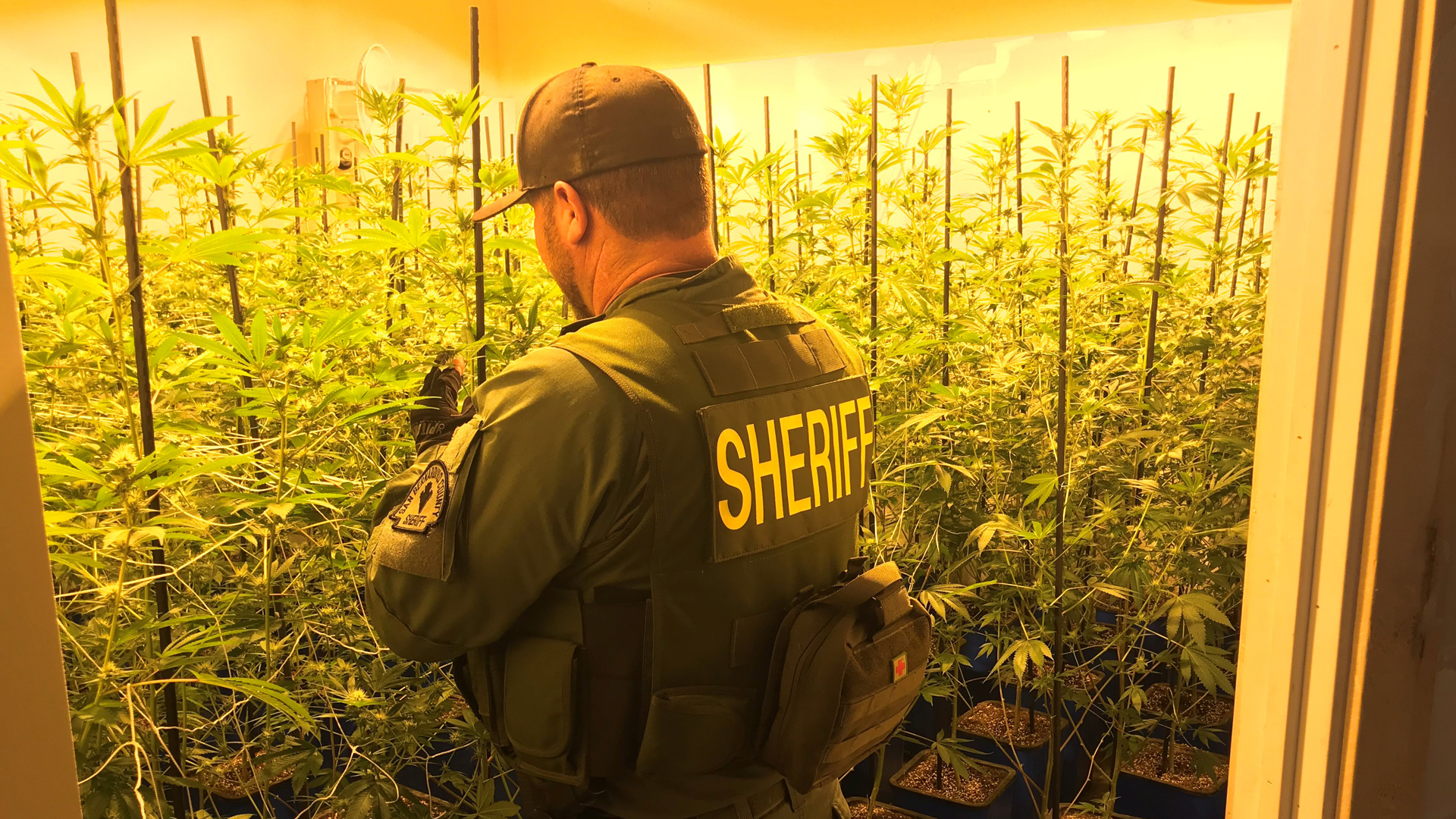 An officer looks at marijuana plants grown at a home in Rancho Cucamonga in a photo released by the San Bernardino County Sheriff's Department on Jan. 16, 2019.