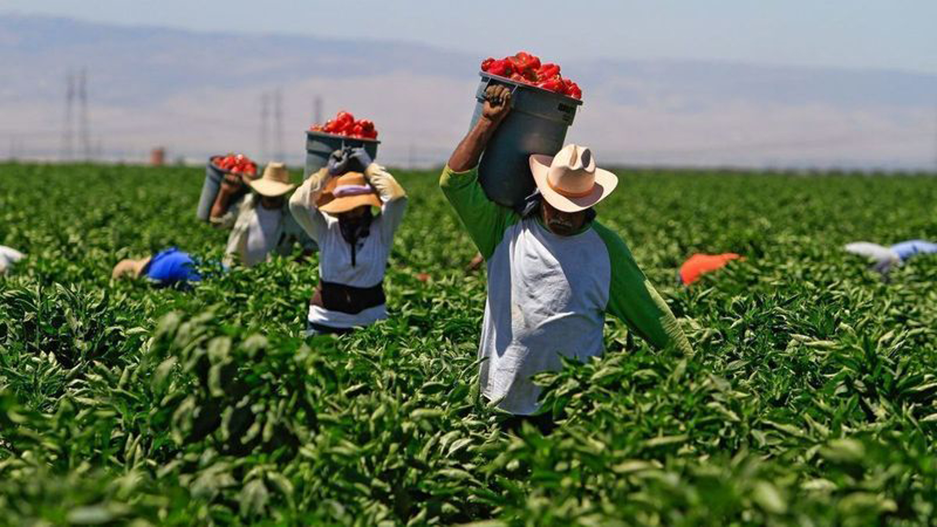 In 2019, agricultural workers gain time-and-a-half pay after 9.5 hours a day or 55 hours a week at farms, ranches and dairies with 26 or more employees. By 2025, all agricultural operations would have to pay overtime after 8 hours and 40 hours a week -- the same as other workers. (Credit: Los Angeles Times)