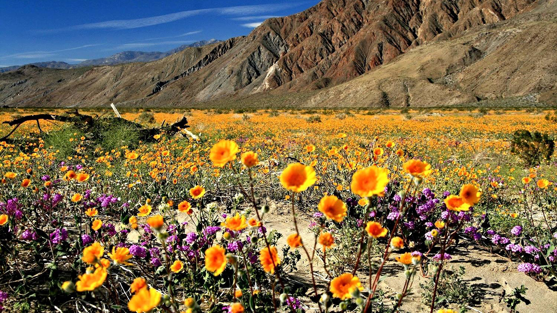 Flowers bloom at Anza-Borrego Desert State Park in this file photo posted on the park's Facebook page on Jan. 1, 2016.