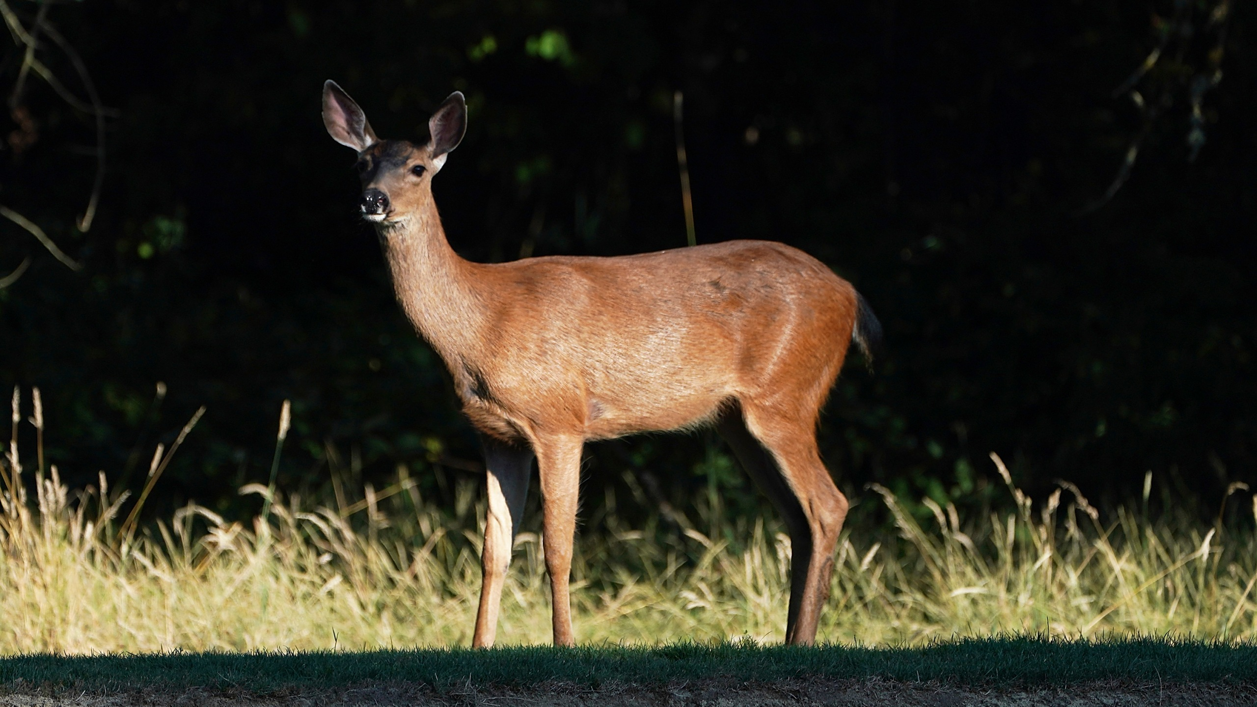 A deer wanders along the fairway on the 14th hole during the third round of the WinCo Foods Portland Open on August 18, 2018 in Portland, Oregon. (Credit: Steve Dykes/Getty Images)