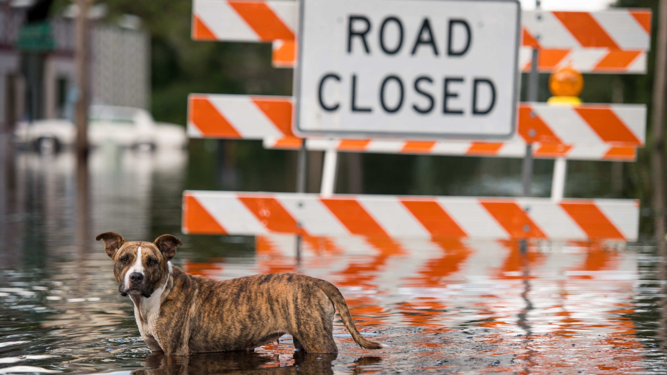 A dog stands in floodwaters from the Waccamaw River caused by Hurricane Florence on Sept. 26, 2018 in Bucksport, South Carolina. (Credit: Sean Rayford/Getty Images)