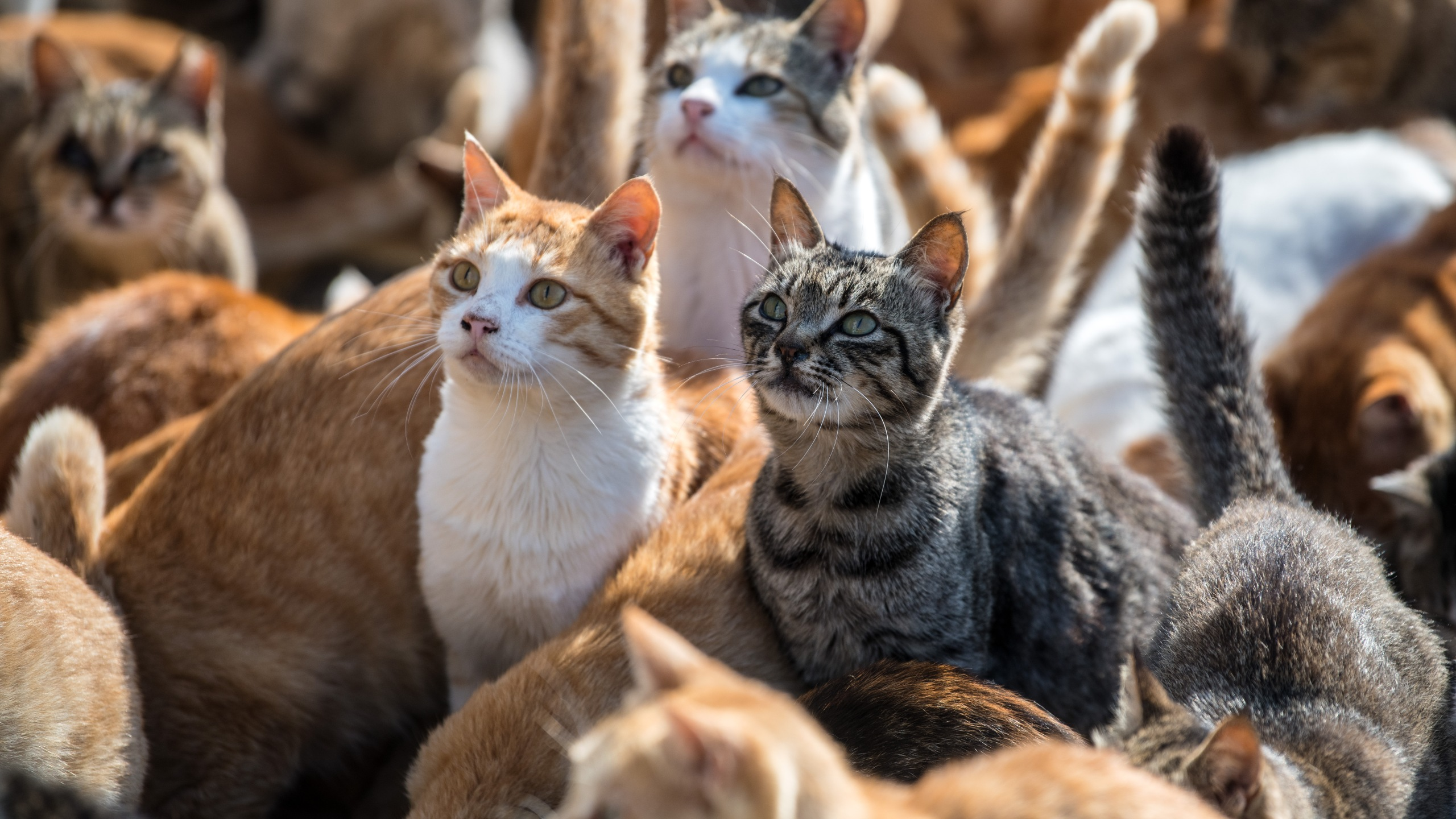 Cats wait for food on Sept. 27, 2018, in Aoshima, Japan. (Credit: Carl Court / Getty Images)
