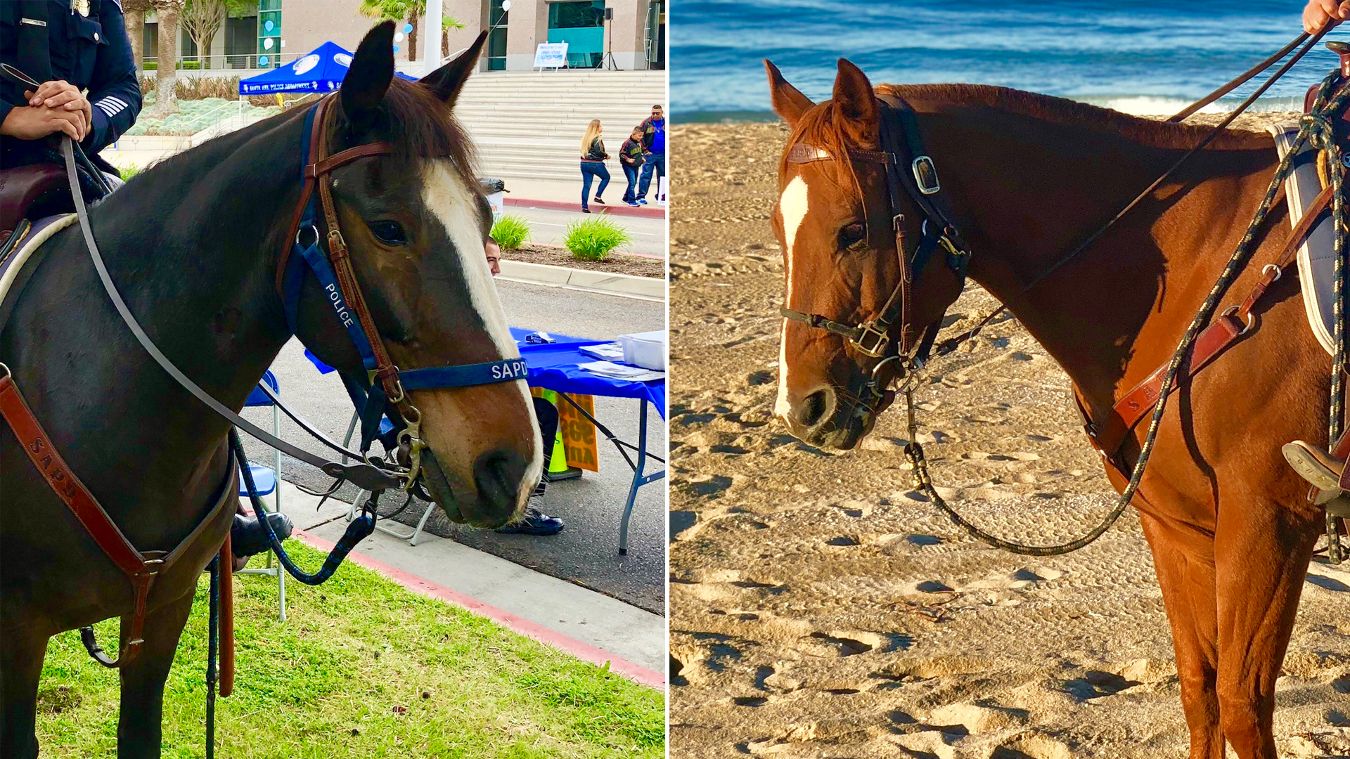Santa Ana Police Department horses Chex (left) and Willa (right) appear in undated photos provided by the Santa Ana Police Department on Feb. 24, 2019.