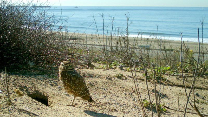 A burrowing owl appears in an undated photo next to its den at the LAX Dunes Preserve, at the west end of the airport's runways. (Credit: U.S. Geological Survey via Los Angeles Times)