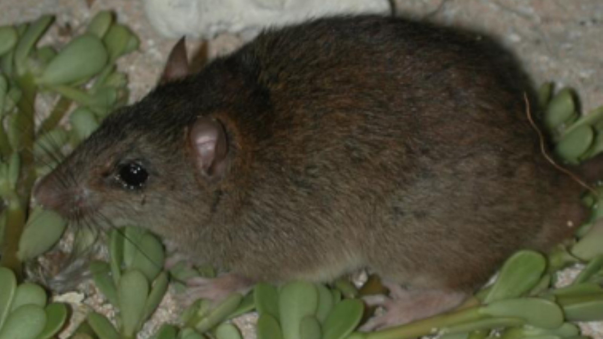 Bramble Cay melomys has been declared extinct due to climate change. (Credit: University of Queensland)