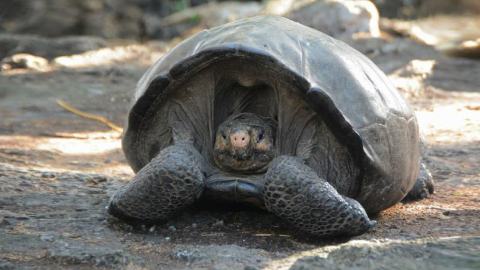 The Fernandino Giant Tortoise was thought to be extinct, but was seen earlier this week for the first time in 103 years. (Credit: Ministry of the Environment)