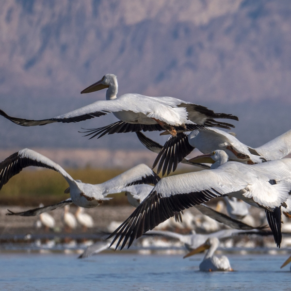White pelicans, which used to mass here by the tens of thousands during winter months, fly over the Salton Sea near Calipatria on Jan. 1, 2019. (Credit: David McNew / Getty Images for Lumix)
