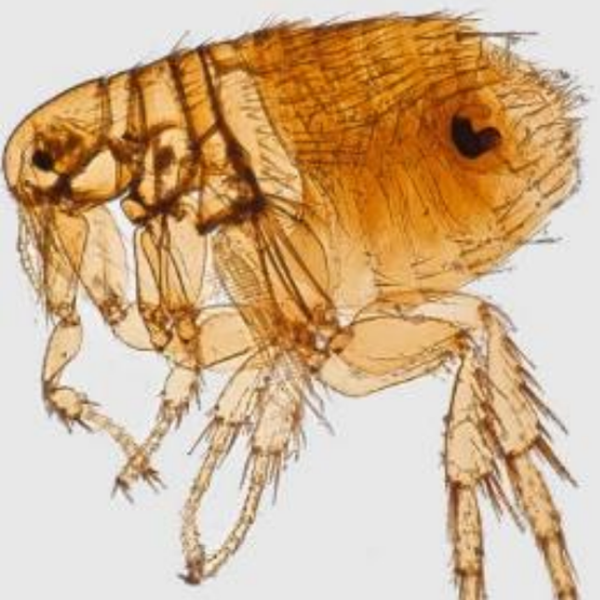 A rodent flea typically associated with carrying the Typhus disease. (Credit: Los Angeles County Department of Public health)