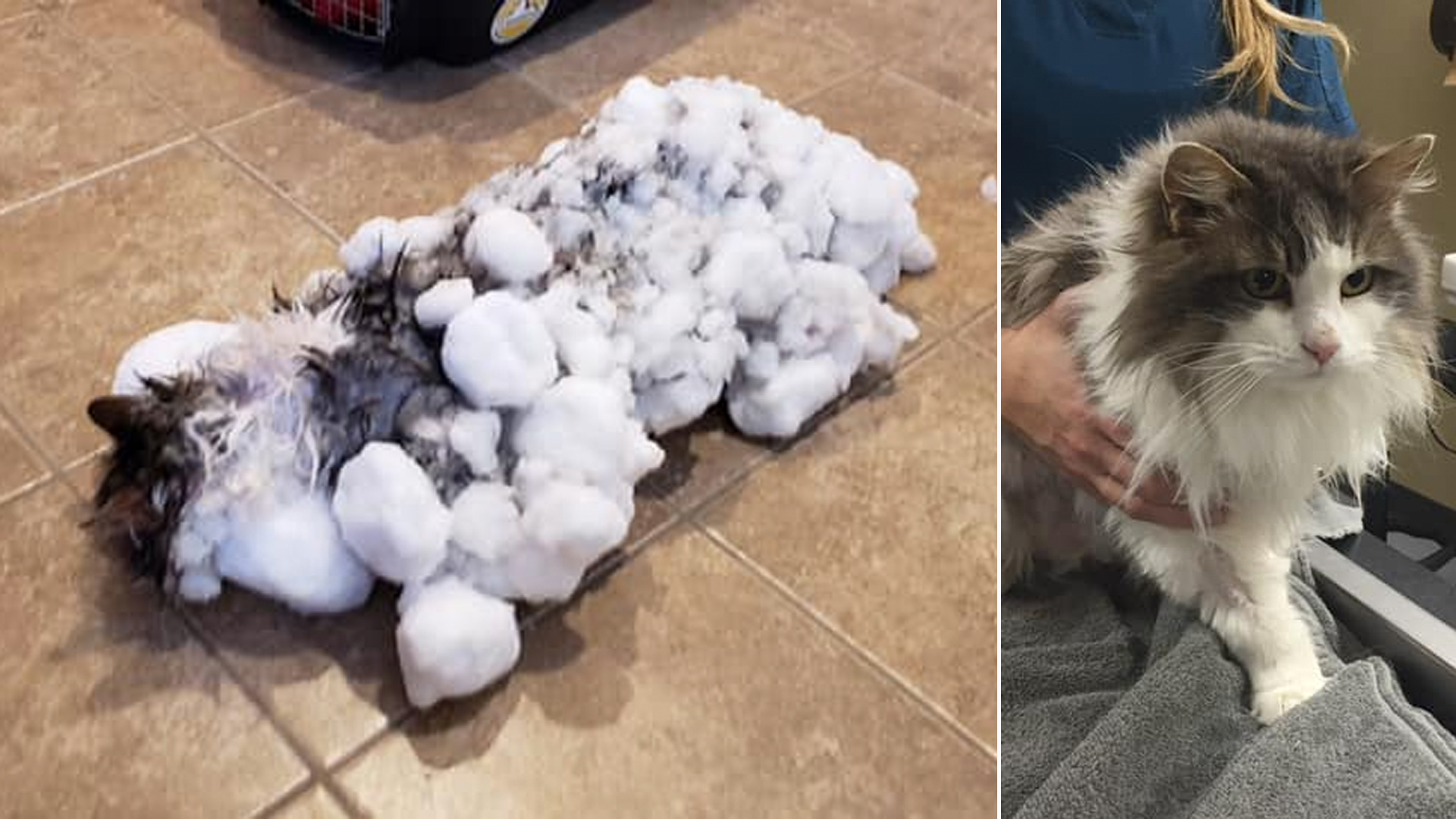 Before and after photos of Fluffy were provided by the Animal Clinic of Kalispell.