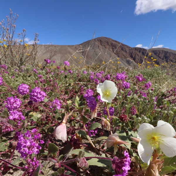 Sand verbena and evening primrose are seen in Anza-Borrego State Park in this Feb. 22, 2019, photo released by California State Parks.