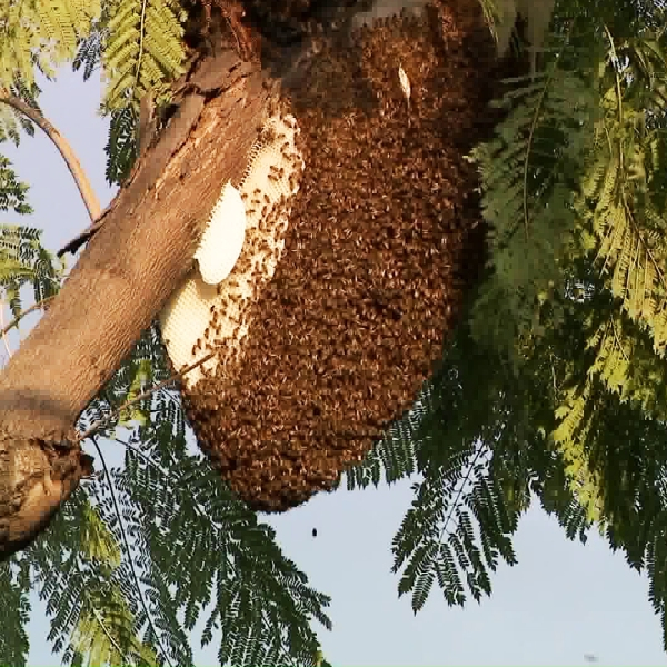 A bee hive is seen above Hollywood Boulevard on March 5, 2019. (Credit: KTLA)