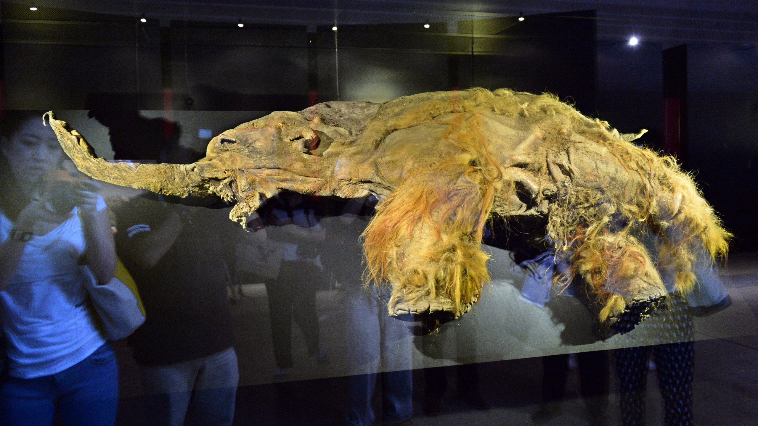 The frozen carcass of a 39,000-year-old female woolly mammoth named Yuka from the Siberian permafrost is displayed for an exhibition in Yokohama, suburban Tokyo on July 12, 2013 at a press preview before the opening. (Credit: KAZUHIRO NOGI/AFP/Getty Images)