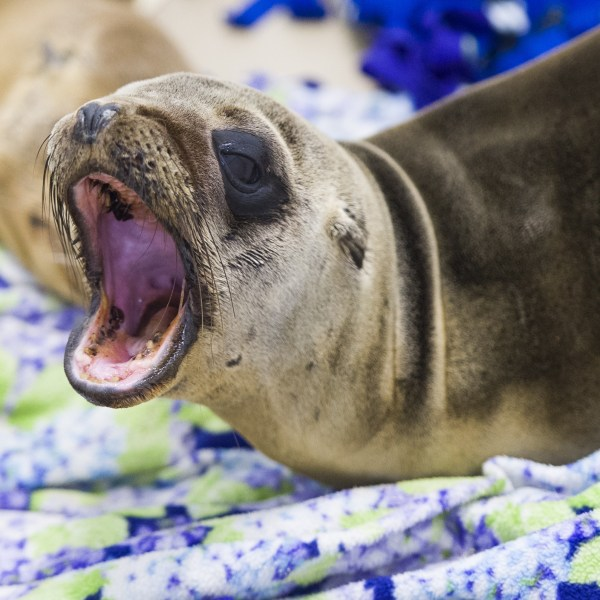 A rescued sea lion rests in a holding pen at the Pacific Marine Mammal Center in Laguna Beach, on March 30, 2015. (Credit: ROBYN BECK/AFP/Getty Images)