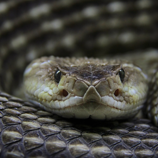A rattlesnake looks at the camera in a file photo. (Credit: Getty Images)