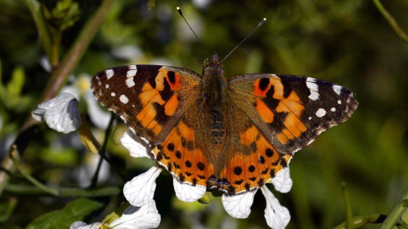 With winter rains through the 2018-2019 providing butterflies an abundance of food, millions of Painted Ladies are migrating across California. (Credit: Irfan Khan/ Angeles Times)