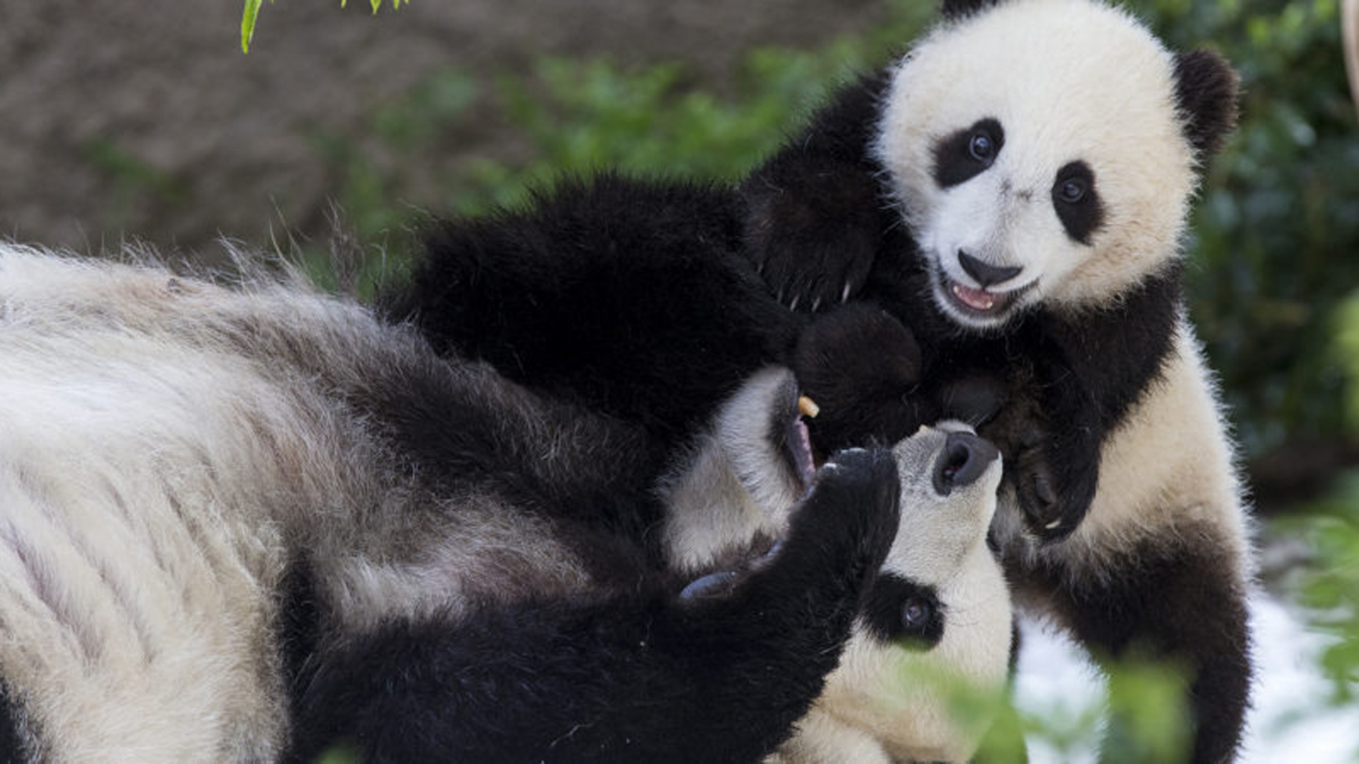 Giant panda Bai Yun, left, plays with her son Xiao Liwu in this undated photo provided by San Diego Zoo Global.