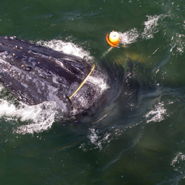In this undated photo, a humpback whale is seen entangled in fishing gear off the coast of Crescent City. (Credit: NOAA)