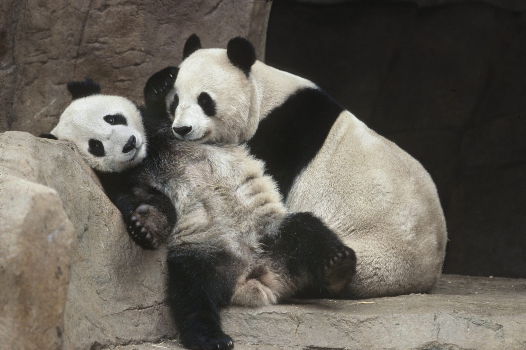Hua Mei and Bai Yun are seen in an undated photo provided by the San Diego Zoo.