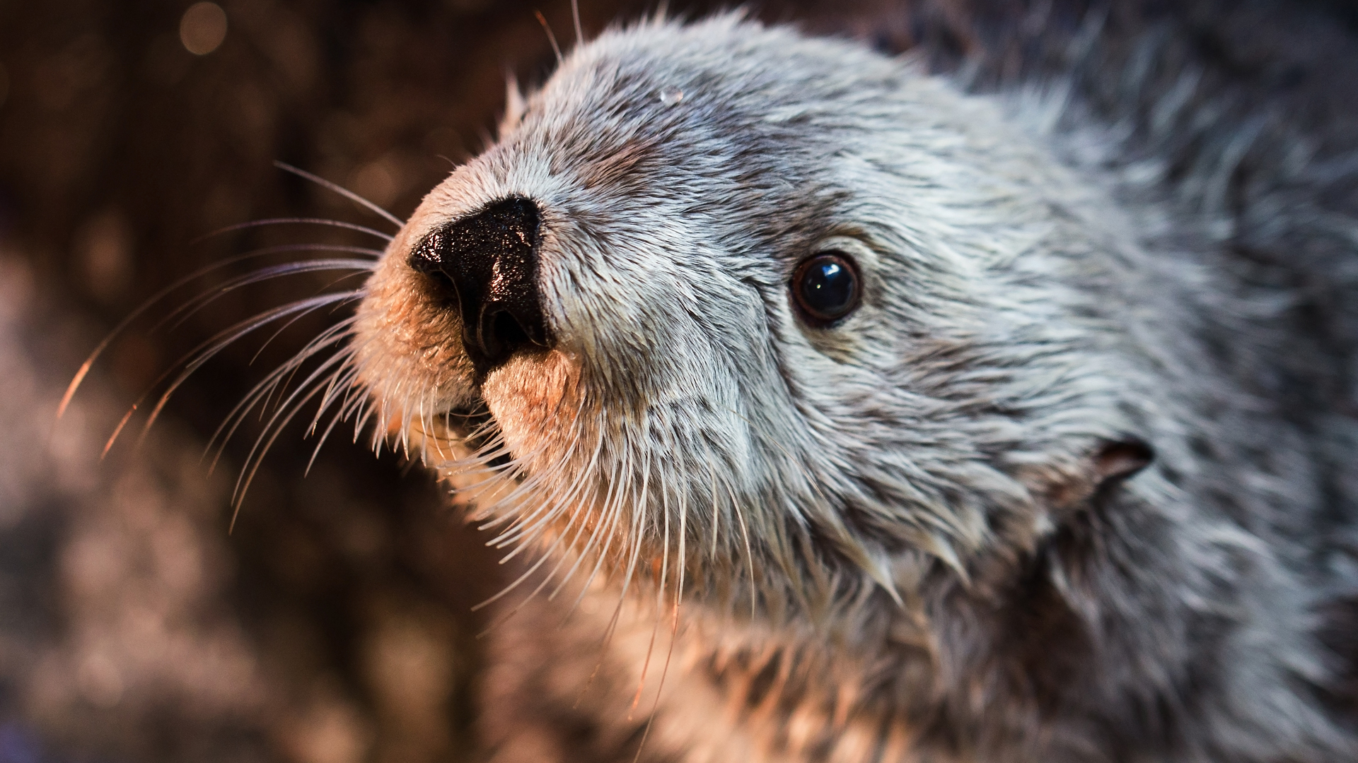 Sea otter Charlie is seen in a photo provided by the Aquarium of the Pacific. (Credit: Robin Riggs)