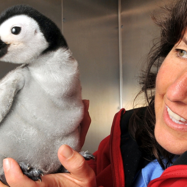 An aviculturist holds an emperor penguin chick at SeaWorld on Oct. 4, 2010, in San Diego, California. (Credit: Mike Aguilera/SeaWorld San Diego via Getty Images)