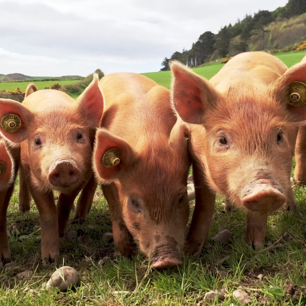 Pigs are seen in a file photo. (Credit: Getty Images)