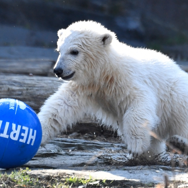 Polar bear cub Hertha plays with a ball after she was given her name on April 2, 2019 at the Tierpark zoo in Berlin. (Credit: JOHN MACDOUGALL/AFP/Getty Images)