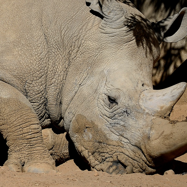 A white rhino appears at at the Johannesburg Zoo on July 25, 2013. (Credit: STEPHANE DE SAKUTIN/AFP/Getty Images)