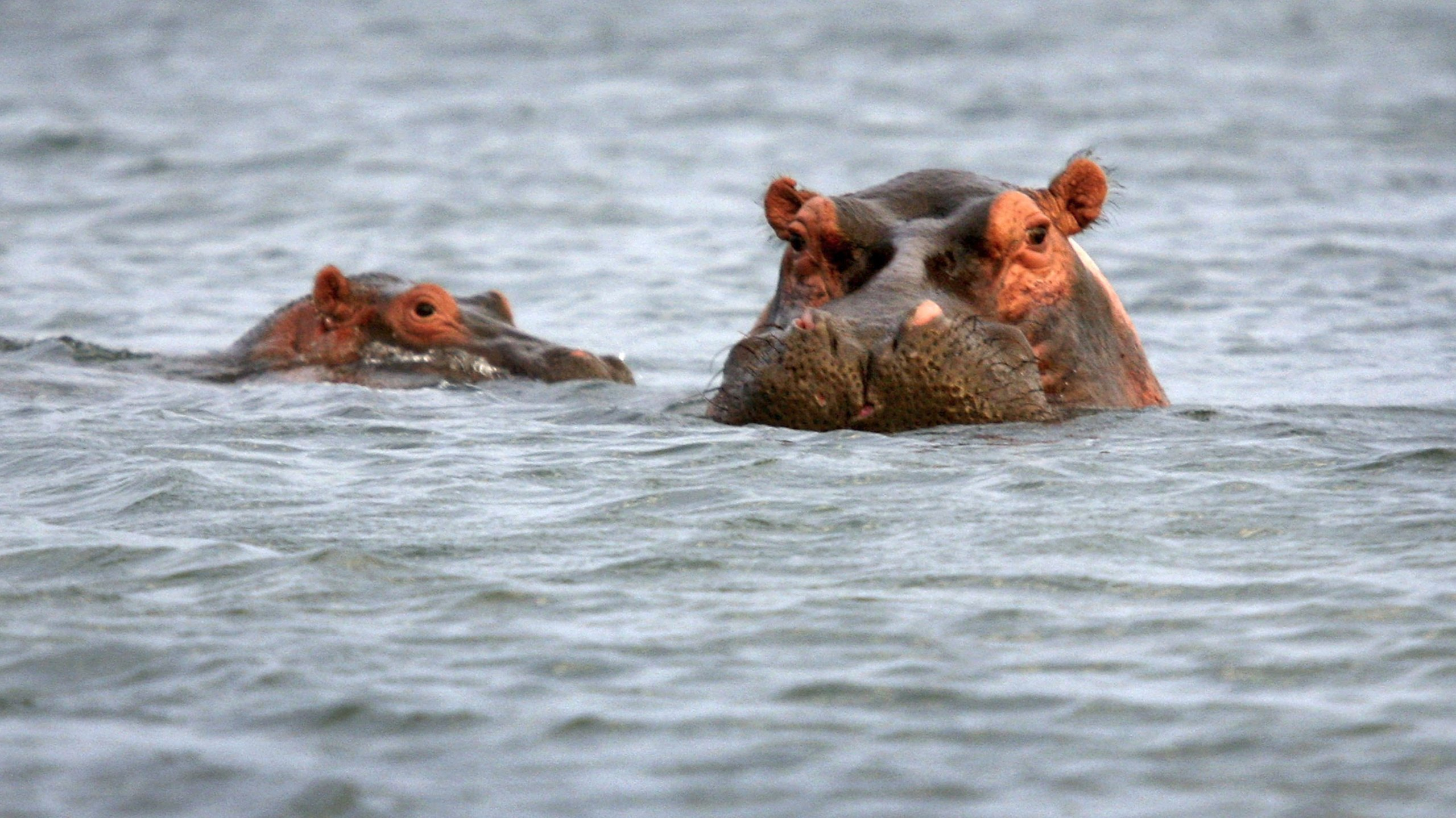 Hippos surface while fishing on Lake Edward July 19, 2006 at Ishango in the Virunga National Park in eastern Democratic Republic of Congo. (Credit: John Moore/Getty Images)
